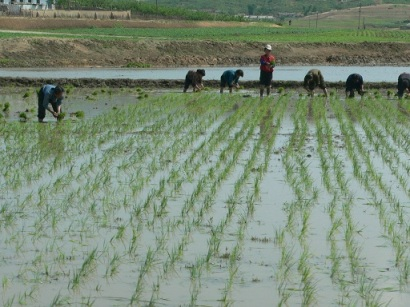 Transplanting rice in DPRK (Photo by Randall Ireson)